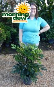Radermachera Dwarf Tree Jasmine
