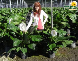 Spathiphyllum Crystal 10 in