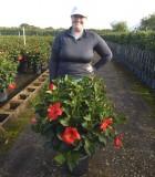 Flowering Hibiscus Bush Red 12 in