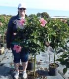 Hibiscus pink tree