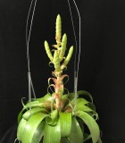 Bromeliad Tillandsia Samantha 6 in