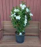 Flowering Mandevilla White 10 in