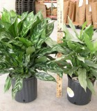 Aglaonema Gemini Sterling chinese evergreen