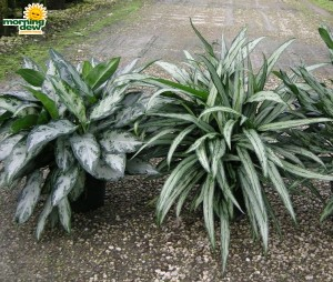 Aglaonema Mystic Marble Cutlass chinese evergreen