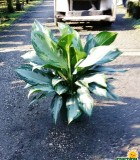Aglaonema SilverBay chinese evergreen