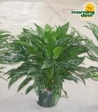 Aglaonema Tigress chinese evergreen