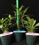 Ant Plant Assorted hydnophytum myrmecodia