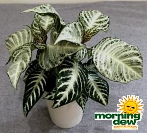 Aphelandra Snow White Zebra plant