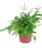 Fern Maidenhair Bronze Venus