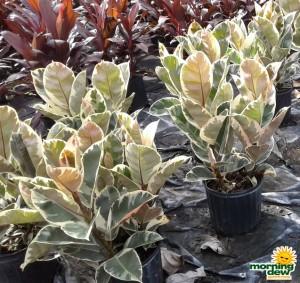 Ficus Elastica Tineke Rubber Plant