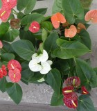 Flowering Anthurium Assorted