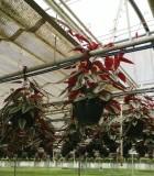 cissus discolor hanging basket