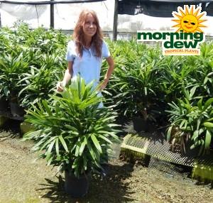 Palm Rhapis Excelsa lady palm