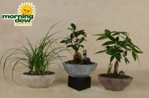 bonsai slate oval