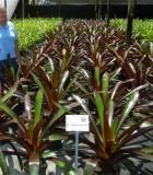 Bromeliad Vriesea Sanguinolenta 9 in