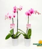 orchid pink mystique flower