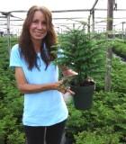 Araucaria Norfolk Island Pine 6 in
