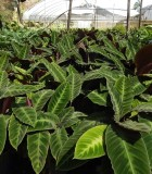 Calathea Jungle Velvet 10 in
