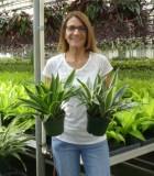 Dracaena Warneckii Gold Star & Green Stripe 6 in