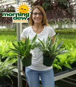 Dracaena Warneckii Gold Star & Green Stripe 6 in