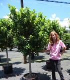 Ficus Moclame 17 in