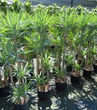 Yucca Cane Variegated 10 in