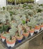 Cactus Euphorbia Lactea 5 in
