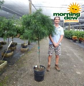 podocarpus gracilior weeping