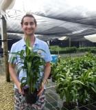 dracaena hawaiian sunshine cane