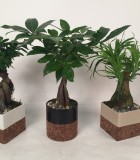 Dish Garden Bonsai Exotics 4.5 in