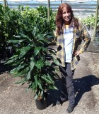 Dracaena Lind Cane 9 in