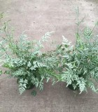 Fern Pteris Silver Lace 6 in