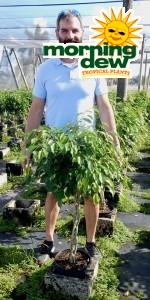 Ficus Benjamina Braid 10 in