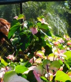 Flowering Anthurium Kerrich Rose Blush 8 in