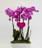 Flowering Orchid Phal Eileen Gardens 11 in