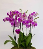 Flowering Orchid Phal Eileen Gardens 14 in