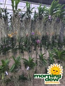 Flowering Orchid Vanda 6 in