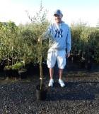 Fruit Olive 10 in