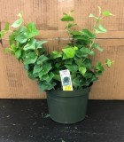 Ivy Greenheart 6 in
