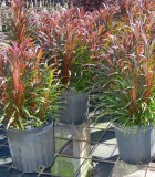 Dracaena Cordyline Fairchild 8 in