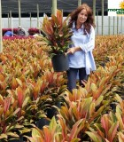 Dracaena Cordyline Harlequin 10 in
