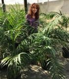 Palm Chamaedorea Hooperiana 10 in