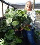 Philodendron Monstera Deliciosa 10 in