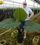 Alocasia Dark Star 10 in