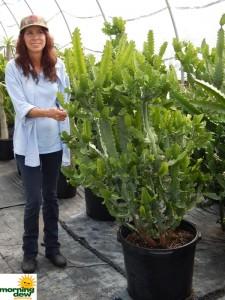 Cactus Euphorbia Lactea 17 in