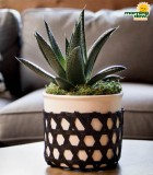 LiveTrends Kaare with Succulents 6 in