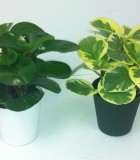 Peperomia Green & Variegated 4 in