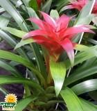 Bromeliad Guzmania Ginette 5 in