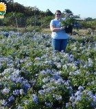 Flowering Plumbago Bush Blue 10 in