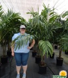 Palm Adonidia 14 in